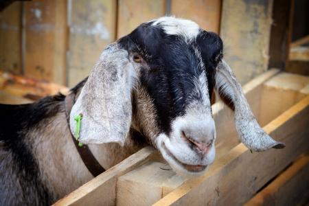 англо-нубійські-кози