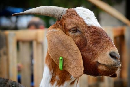 бурська-коза