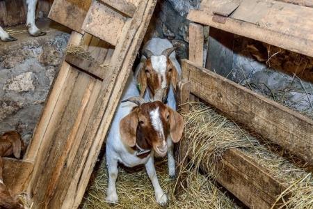 бурські-кози-2