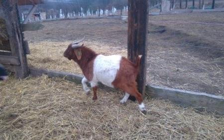 бурські-кози
