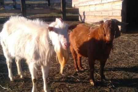 бурські-кози1