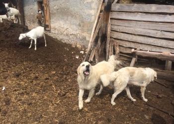 Собаки-підгалянська-вівчарка