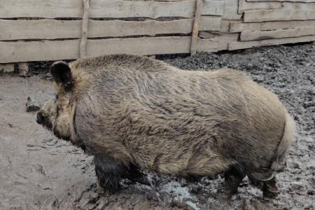 Свині-мангали