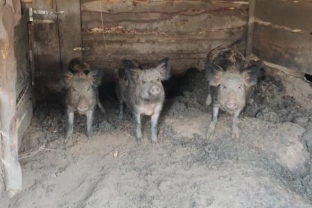 Свині-мангали1