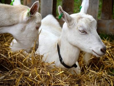 Зааненська-порода-кіз