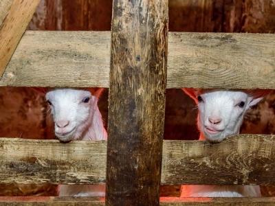 Кози-зааненська-порода